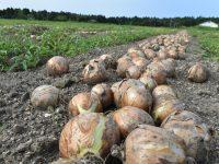 稲刈体験からタマネギの栽培作業まで、「農業インターンシップ」を本気でサポート! ベテランファーマーに習う農業の魅力とは