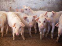 養豚場の仕事内容とは? 経営形態、豚の生態から1日の仕事の流れまでご紹介!