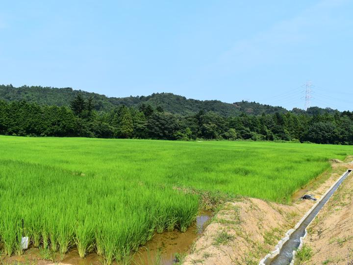 福島県広野町の横田さんのほ場。青空の下で綺麗な緑色の稲が生育しています