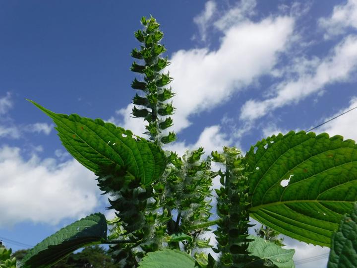 青空の下で大きく生育するエゴマの葉