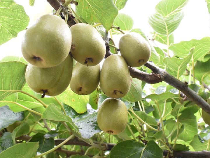 梨だけではなくキウィフルーツも栽培している福島県相馬市の『田中果樹園』