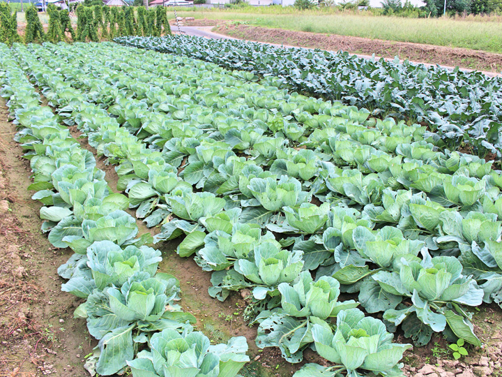 ハウス栽培のほか、露地ではキャベツ、ブロッコリー、曲がりネギなど栽培
