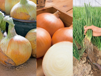 【プロに聞く】タマネギ(玉ねぎ)の栽培方法とおすすめ品種 トウ立ちを防ぐには?