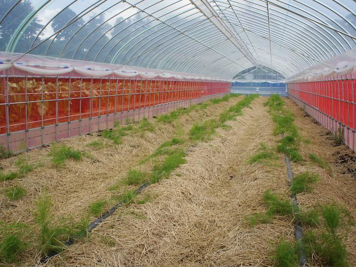 ビニールハウスの中にアスパラガスの苗が植えられている