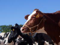 肉牛・乳牛別にみる牛の体重推移! 出生から出荷までの平均体重を解説