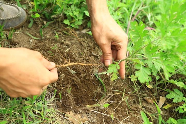3)ヨモギの地下茎