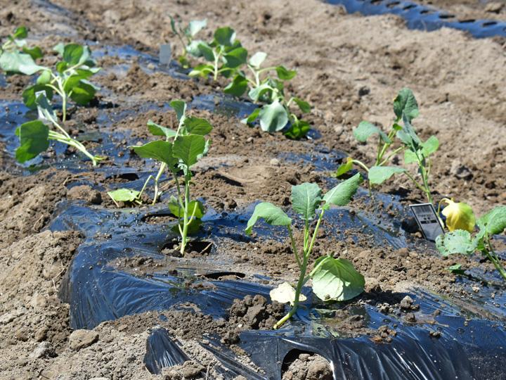 双葉町両竹地区の試験栽培で植えられたブロッコリーの苗