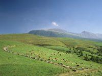 牧草牛のお肉や牛乳に含まれる栄養素! 味や匂いについても解説!