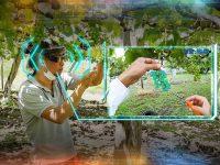 スマートグラスでブドウの粒数を数える! 人工知能(AI)が摘粒作業を強力バックアップ!