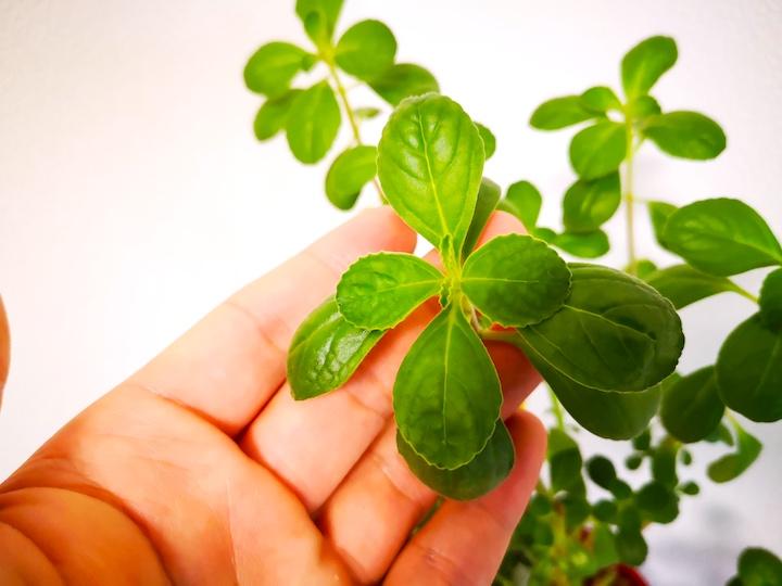 マンジェリコンの葉