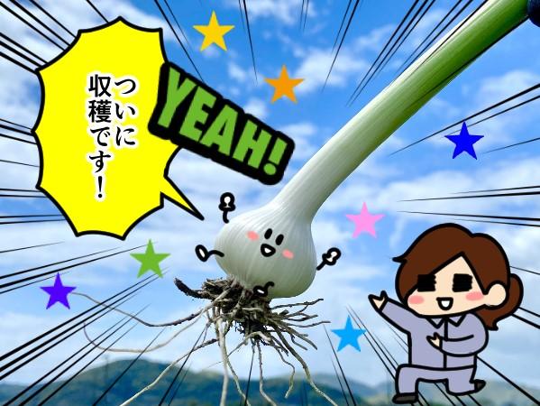 漫画「跡取りまごの百姓日記」【第75話】ニンニク収穫適期の見極め方