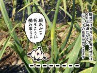 漫画「跡取りまごの百姓日記」【第74話】 ニンニクの芽取り作業! 取り逃がすとどうなる?