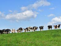 自然と牛と人が共存し続けるために。放牧は誰も無理しない幸せの循環型酪農