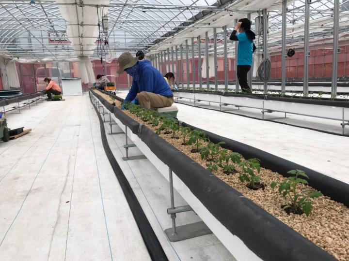 エンリッチミニトマト定植作業