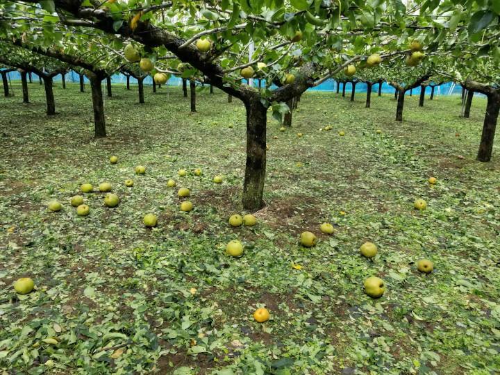 台風で落ちた梨