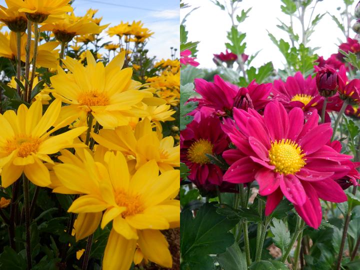 『株式会社大地のめぐみ』で試験栽培の結果、導入されたコギク2品種 品種名:精はなば(左)よしの(右)