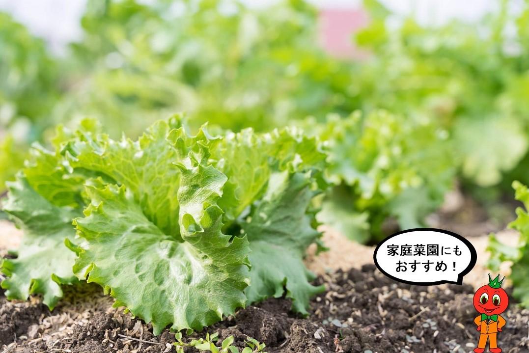 【ベランダで家庭菜園】本当におすすめしたい人気の高いレタス編