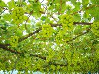 ブドウやモモの日本一の産地における就農相談会を開催します!
