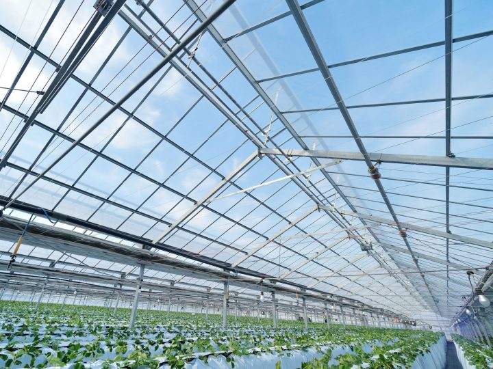 イチゴ通年栽培の成功はハウス被覆材で決まる? 大規模農業法人が信頼する梨地タイプ農POフィルムの実力