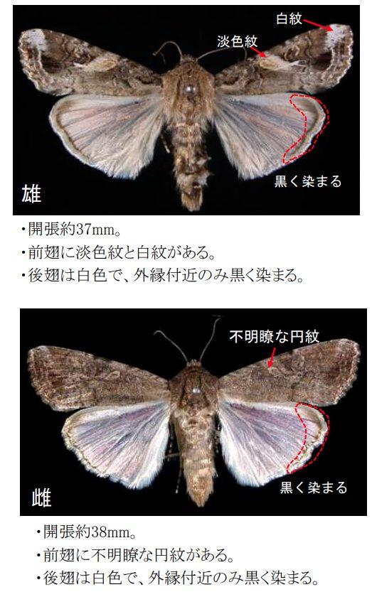 ツマジロクサヨトウの成虫の特徴
