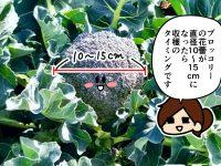 漫画「跡取りまごの百姓日記」【第78話】ブロッコリー、収穫しない決断