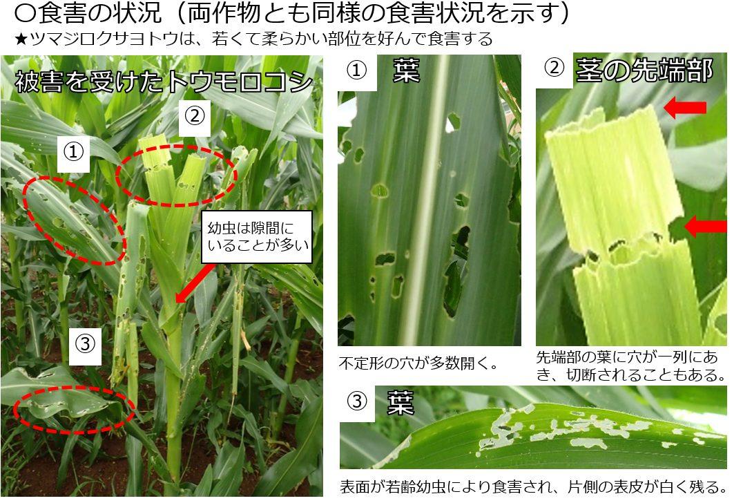ツマジロクサヨトウの被害を受けたトウモロコシ(出典:植物防疫所)