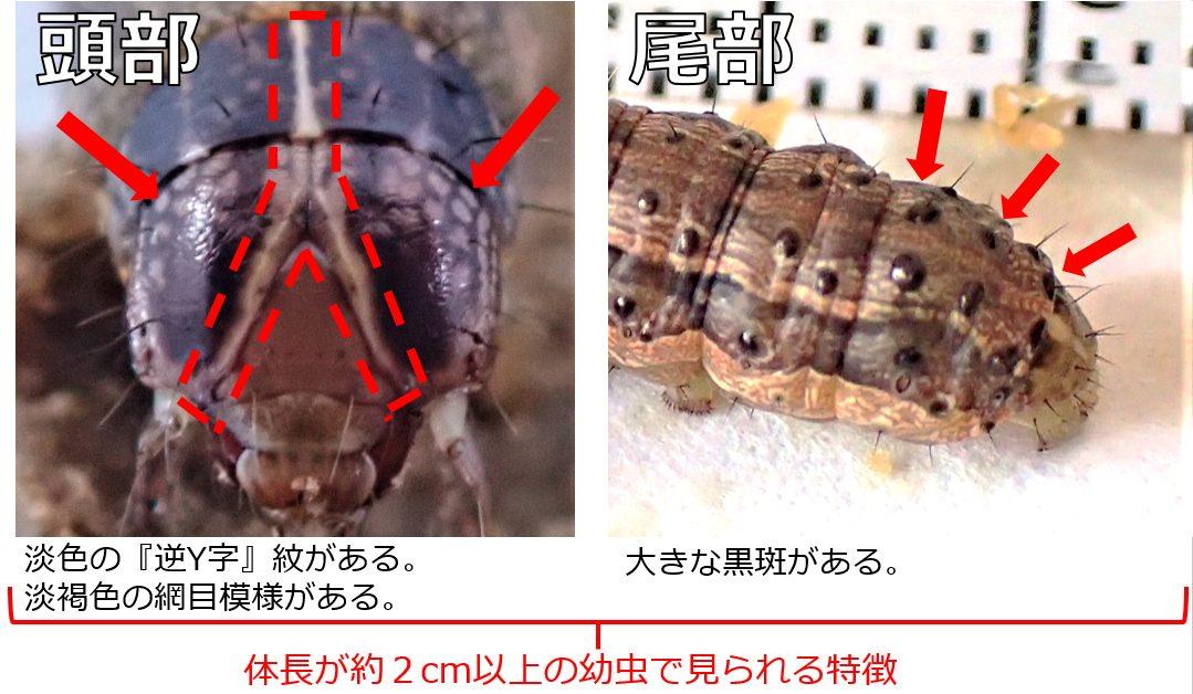 ツマジロクサヨトウの幼虫の特徴