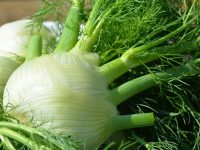 葉も茎も花も種も食べられるフェンネル 余すところなく使える万能野菜を育てる