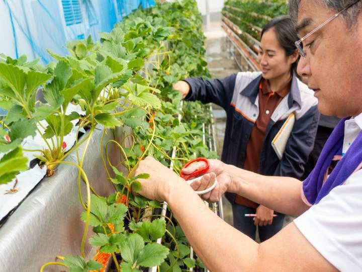 「イチゴは高設栽培で収量が減る」のは必然か?
