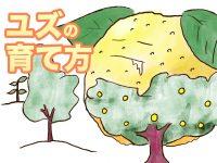 農家が教えるユズ(柚子)の育て方 剪定・病害虫対策のポイントも解説