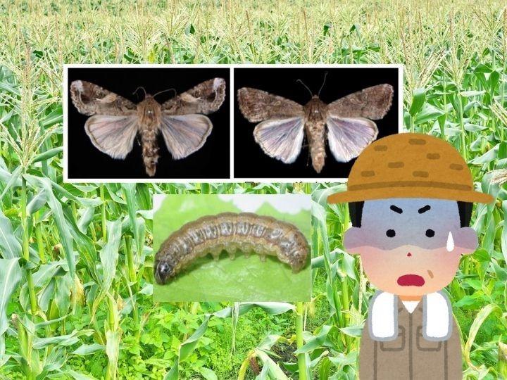 令和の害虫「ツマジロクサヨトウ」って本当に怖い? 特徴や防除方法とは?
