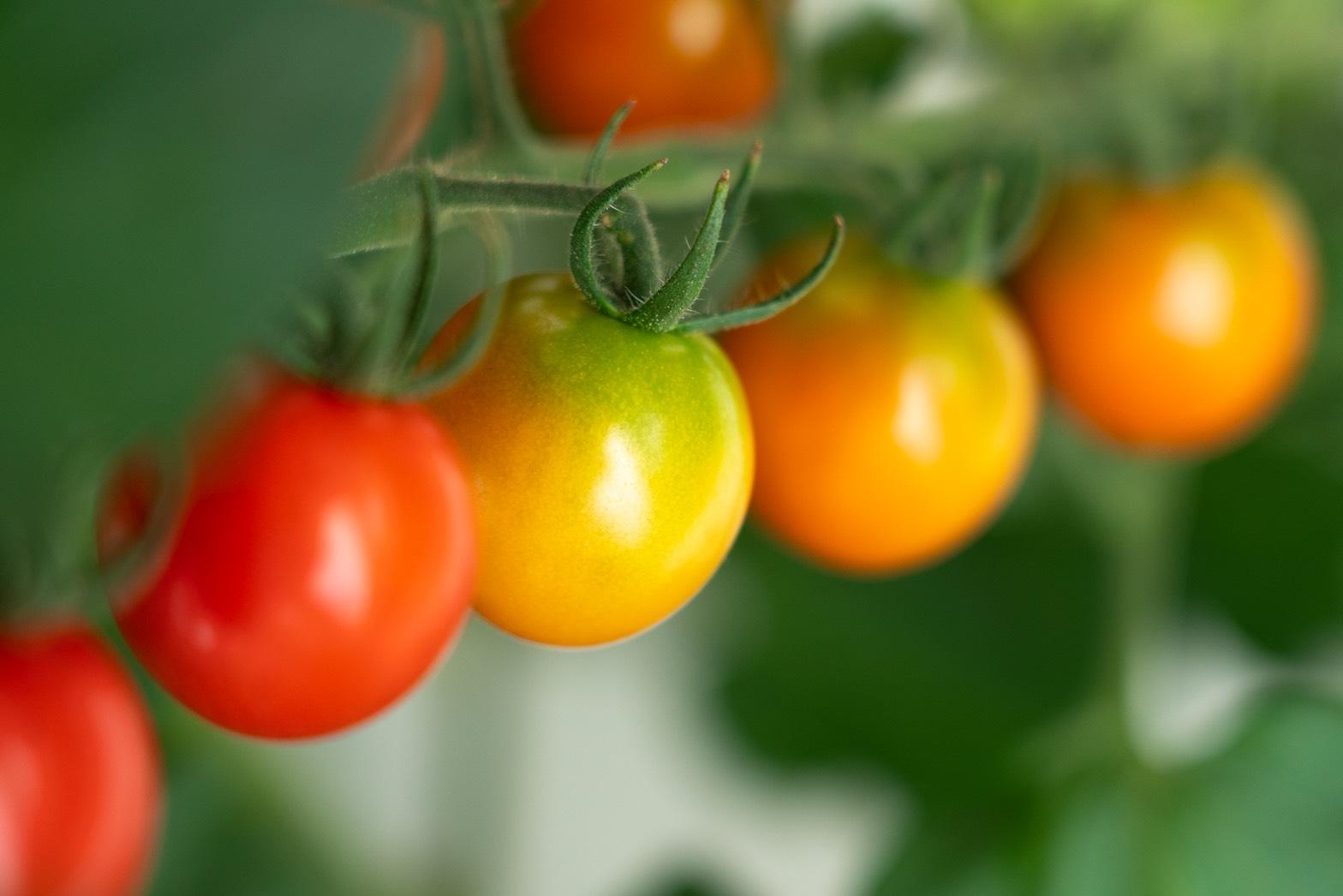 サンチェリー_エンリッチミニトマト