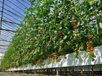 """""""トマトの気分""""を数理で解析?! 「エンリッチミニトマト」を育てた革新技術とは"""