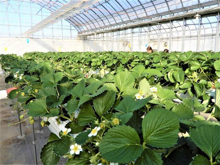 イチゴの高設栽培でさらに収量を上げる秘訣