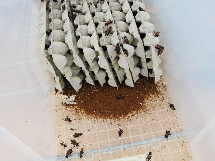 フタホシコオロギの飼育箱