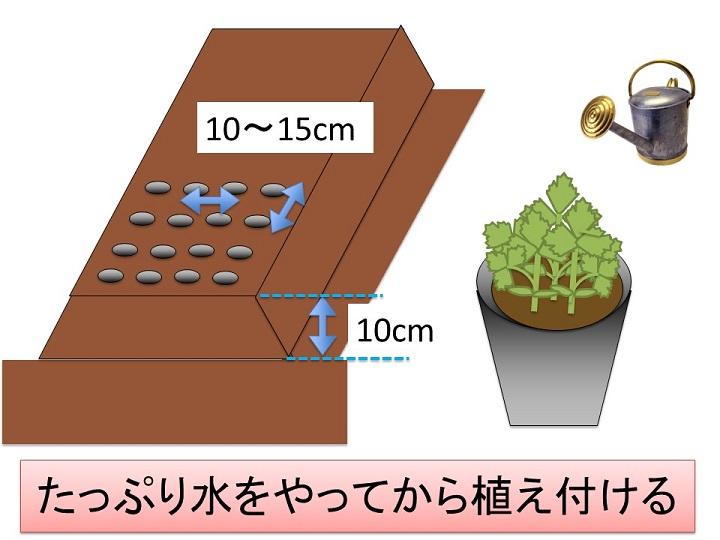 ミツバの定植
