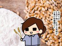 漫画「跡取りまごの百姓日記」【第80話】小麦の収穫目安と奥深い世界