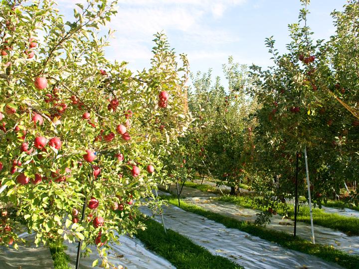 約2.7haの畑でモモ、ブドウ、リンゴを栽培する鈴木農園。2017年から「モモ」「ブドウ」「リンゴ」のJGAP認証を取得