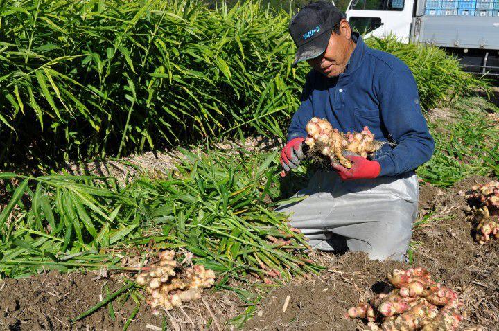 高知のショウガについて 社長収穫作業中1