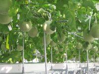 予約数か月待ちのメロンを生む水耕栽培とは? 製造業の技術から驚きのアイデア