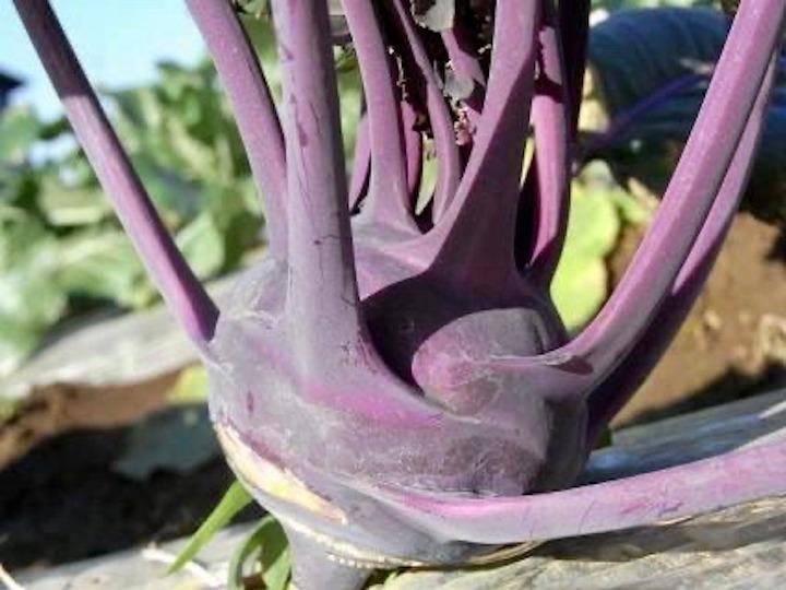 """カブのようなキャベツ、コールラビに挑戦! 用途は万能、煮込んだら""""世界一?!""""の西洋野菜とは"""