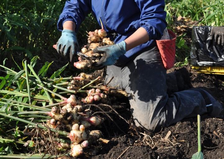 コバマツがショウガ収穫体験してみた 根切り作業ズーム