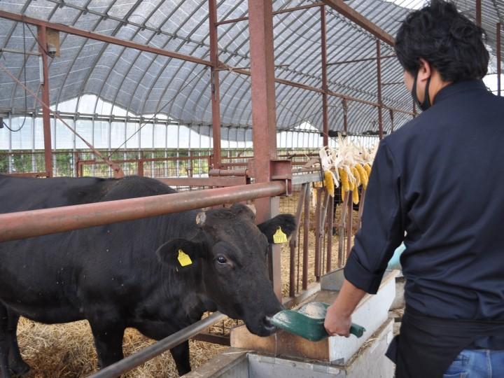 エサの秘密牛に餌をあげる松橋さん