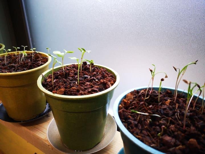 LEDを使わないで育ててた野菜の比較写真