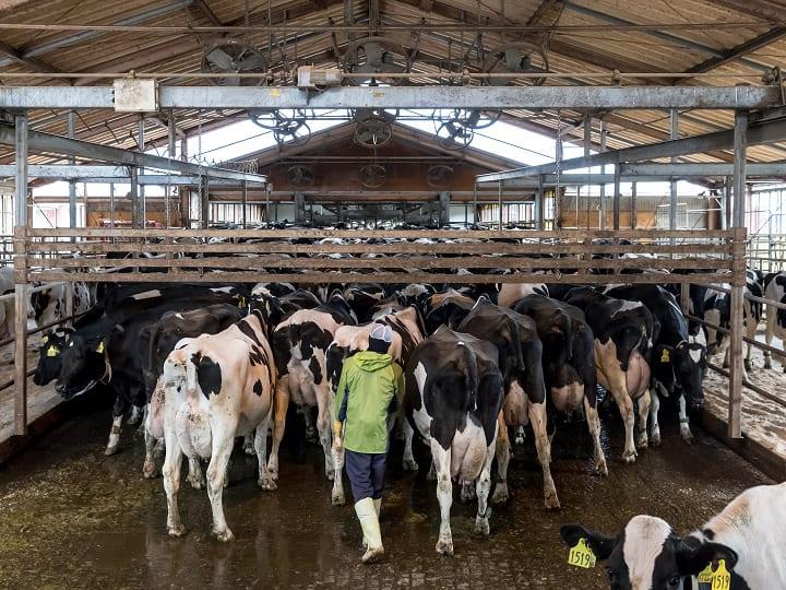 搾乳場に牛を追い込む
