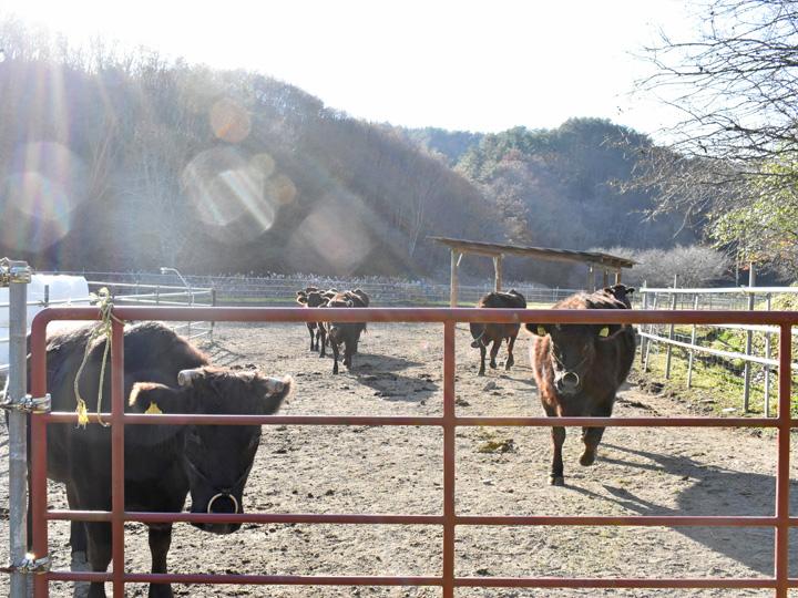 下枝さんが飼養する繁殖牛。とても人懐っこく近付くと寄ってきます