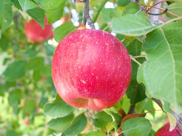 着色のための「葉摘み」をしないことで、葉で作った栄養が収穫直前まで実に供給されるため、より美味しいリンゴに