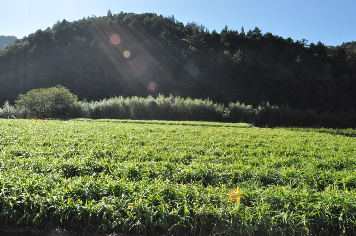 高知のショウガについて ショウガ畑