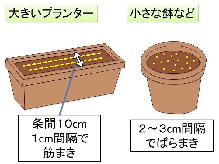 ミツバの播種プランター