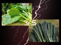 少量多品目農家必見、選ぶ野菜で作業効率と売り上げはこんなに違う! コマツナVSカーボロネロ、徹底比較